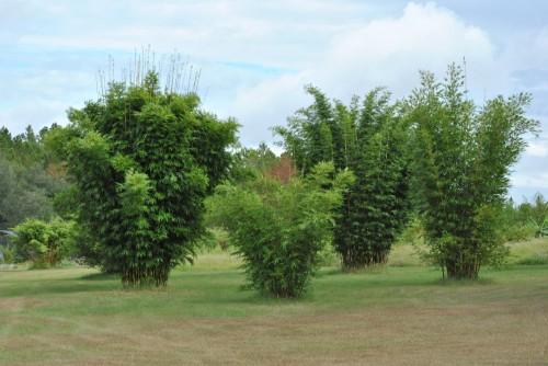 Non Invasive Clumping Bamboos
