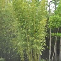 Bambusa textilis 'Kanapaha'
