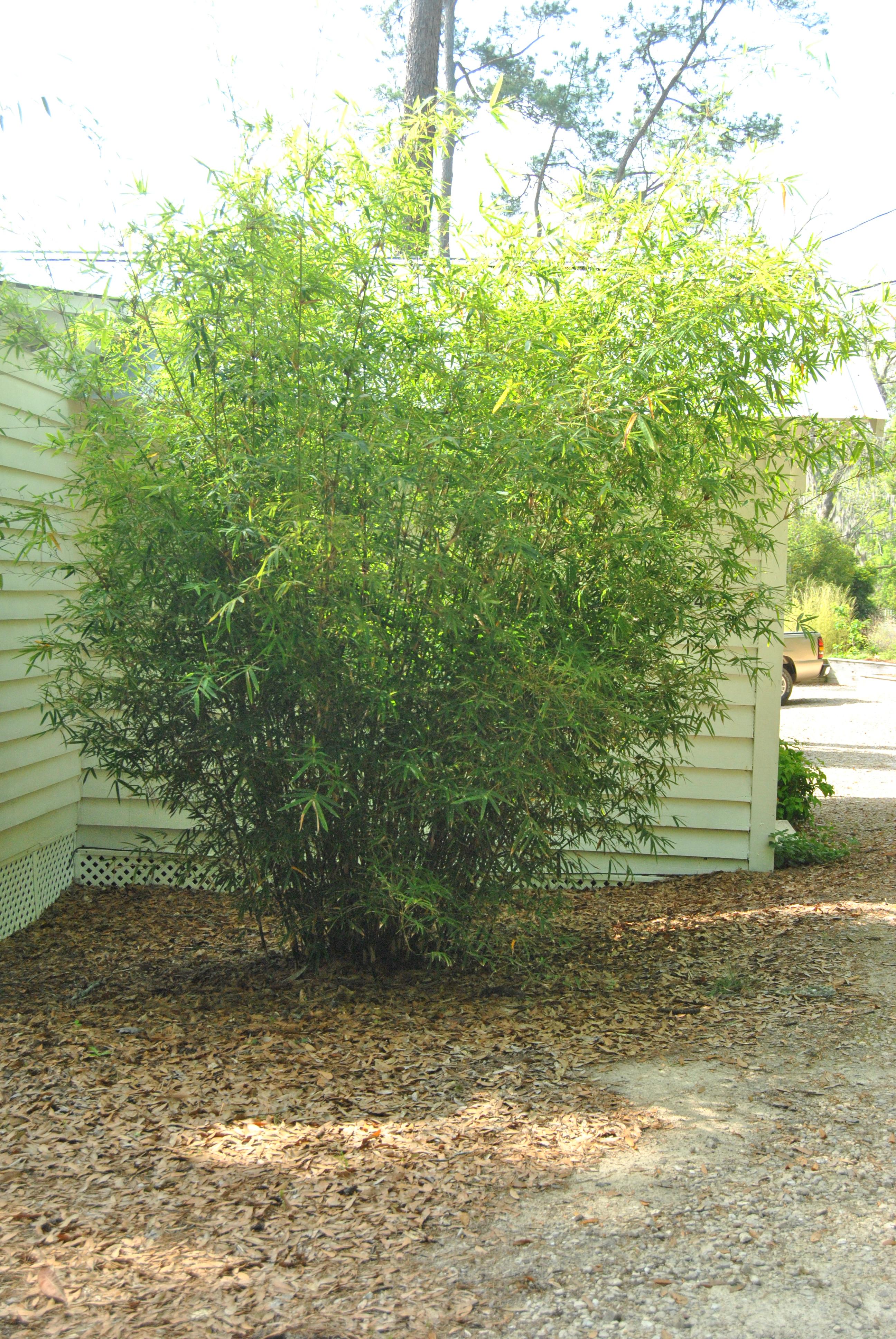 NON-INVASIVE CLUMPING BAMBOOS | Thigpen Trail Bamboo Farm