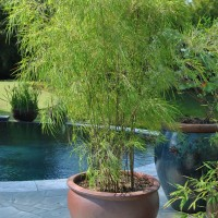Mexican Weeping Bamboo (Otatea acuminata ssp. aztecorum)