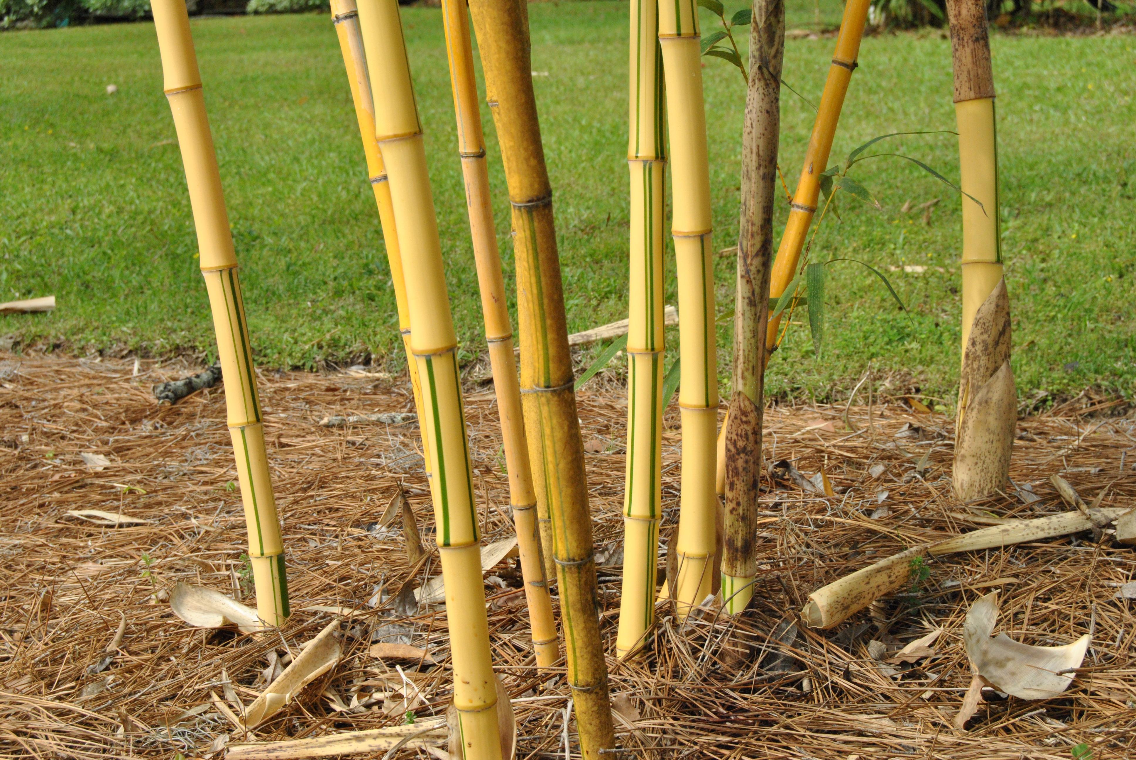 Golden Vivax Bamboo Plant