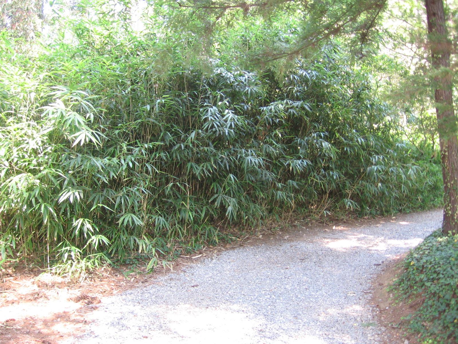 arrow bamboo pseudosasa japonica thigpen trail bamboo farm. Black Bedroom Furniture Sets. Home Design Ideas