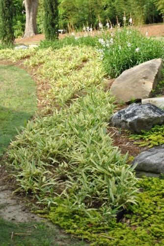 Landscaping With Dwarf Bamboo : Bamboo in the landscape groundcover thigpen trail farm
