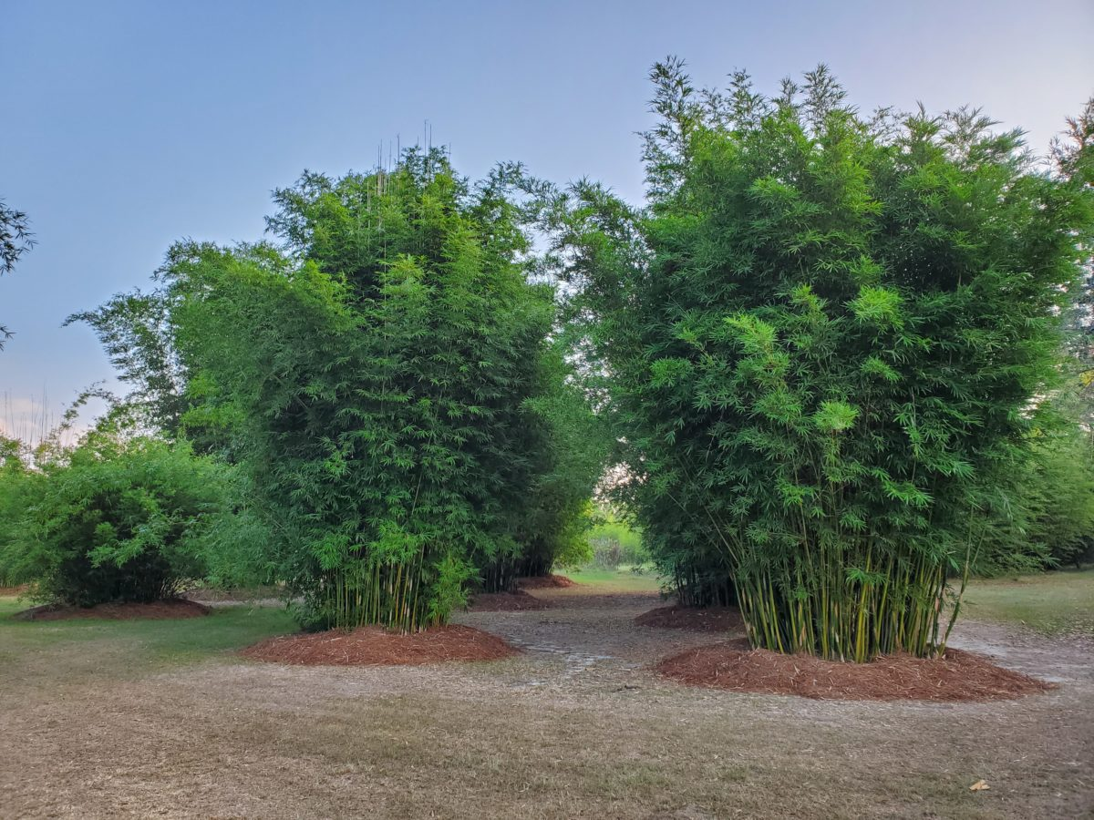 Non Invasive Clumping Bamboos Thigpen Trail Bamboo Farm